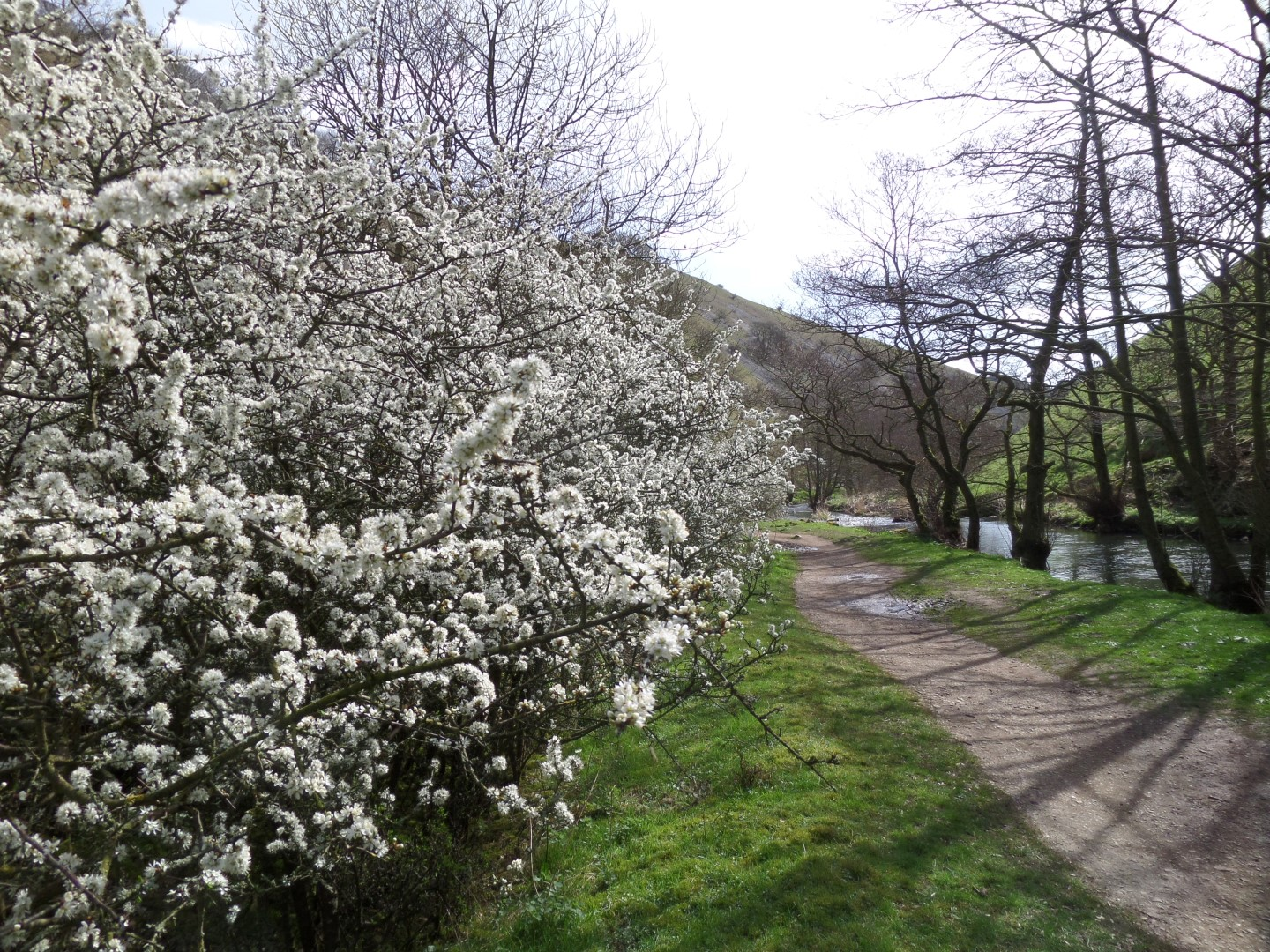 Thorn blossom putting on a show